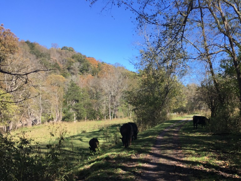 Cattle on the trail on their side of the gate